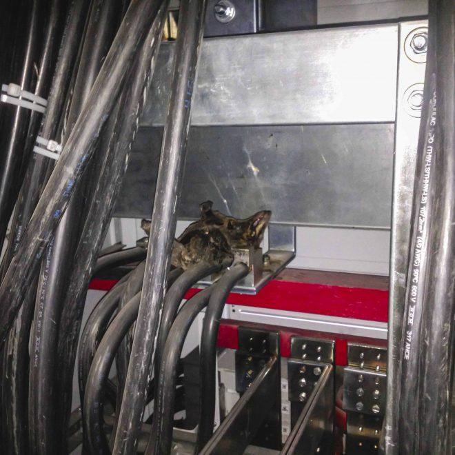 Marsupial electrocutado en barras de tablero